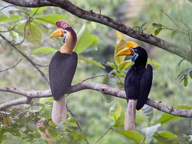 Gambar 2. Burung Julang Sulawesi Jantan dan Betina