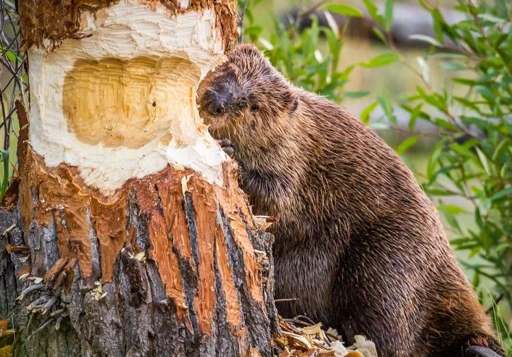 Gambar 2. Biwara (Beaver) Menggerogoti Pohon (© Troy Harrison/Getty Images)