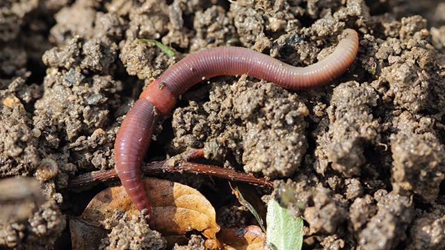 Gambar 2. Cacing tanah : Salah satu contoh makrofauna tanah
