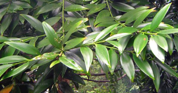 Gambar 2. Daun Pohon Damar