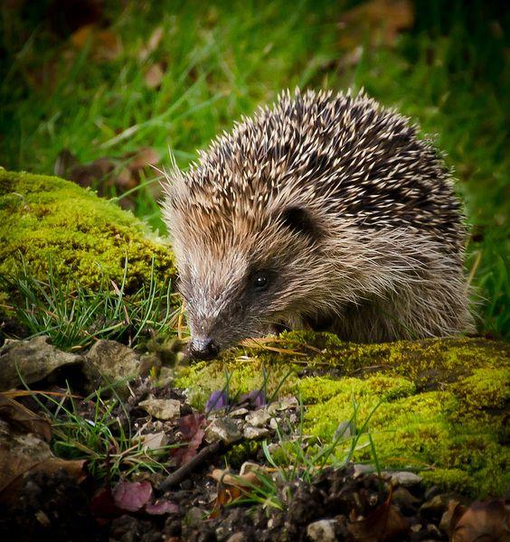 Gambar 3. European hedgehog. Photo by Aniribe © Pinterest.