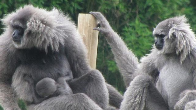 Gambar 2. Keluarga Owa Jawa (Pejantan, betina, dan bayinya)