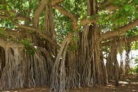 Gambar 2. Pohon Beringin