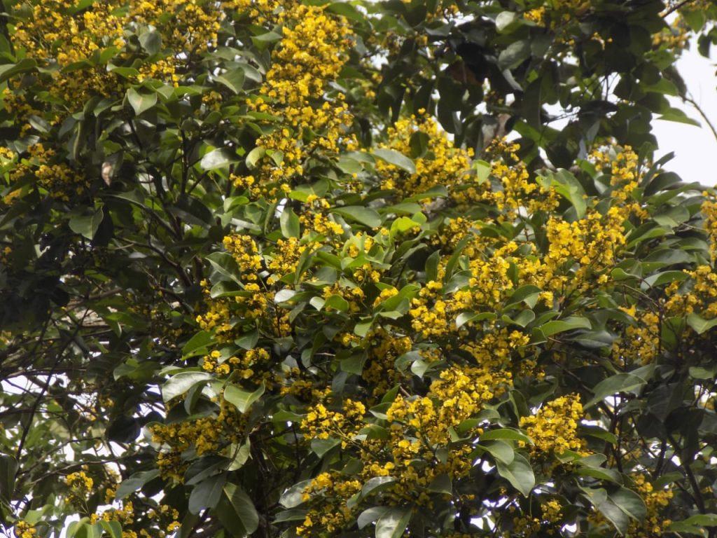 Gambar 2. Pohon Kalapi
