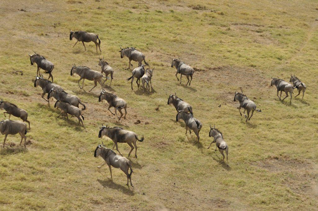 Wildebeest Migration © Kabir Patel