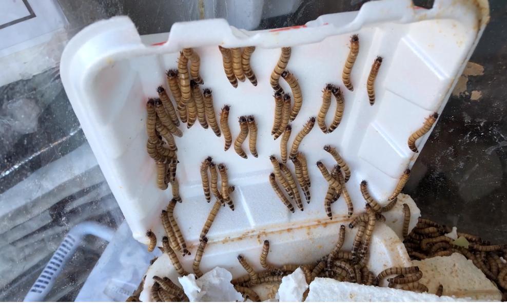 Gambar 2. Mealworms Eating Styrofoam