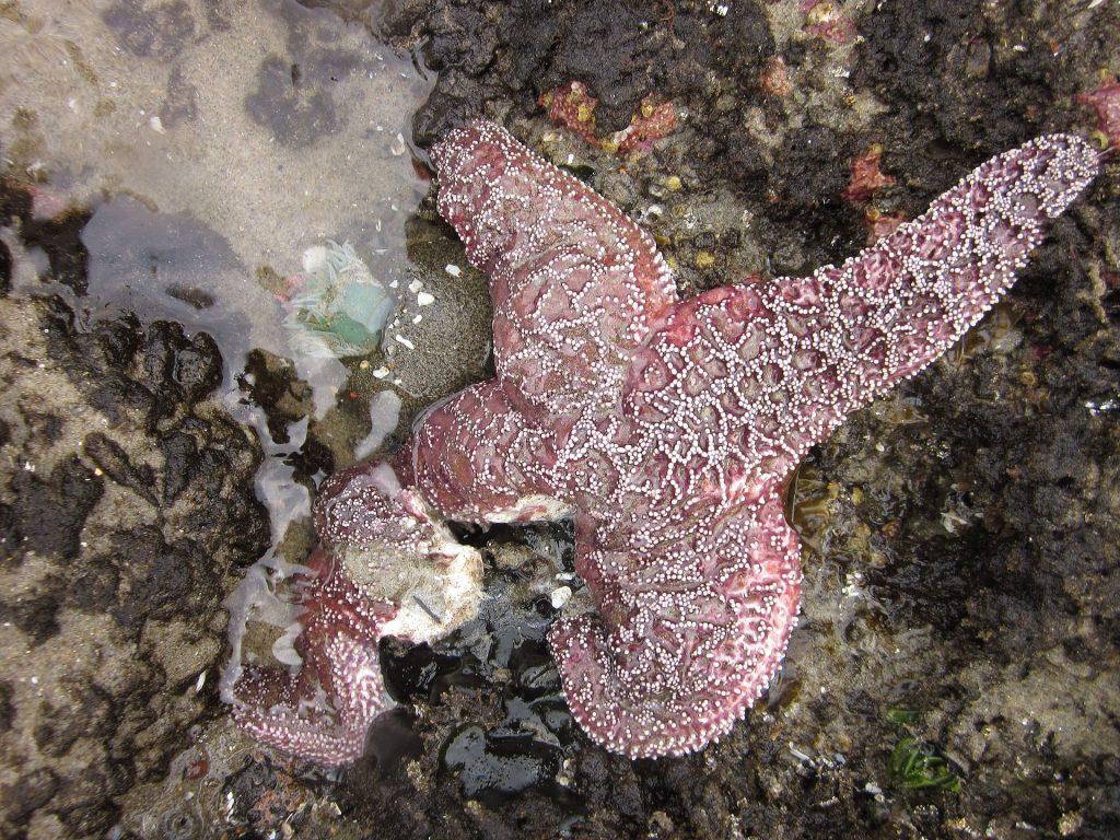 Gambar 3. Bintang laut/Leg of Pisaster ochraceus disintegrating from sea star wasting syndrome © ScienceAlert