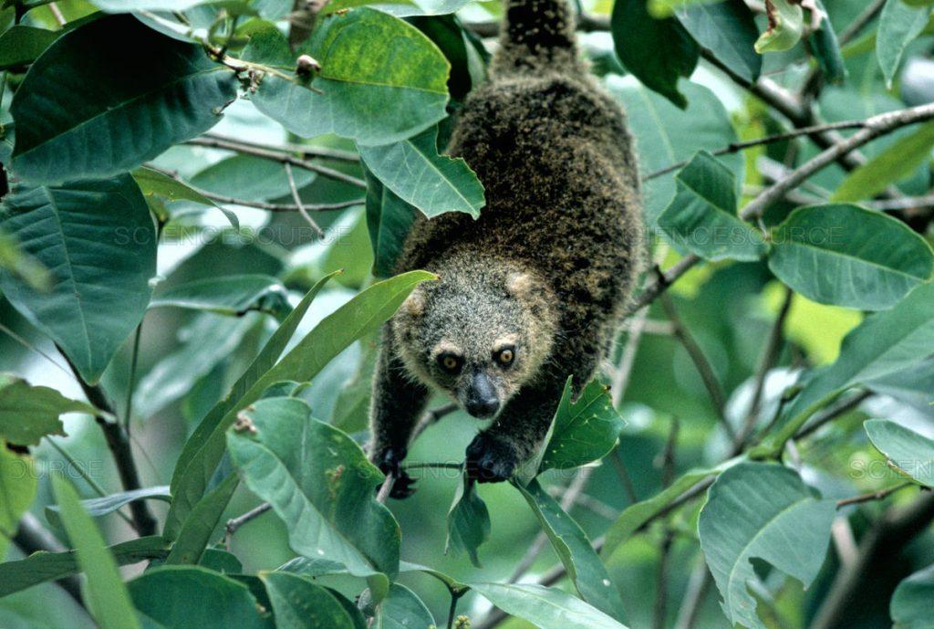 Gambar 3: Ekor Kuskus Beruang Dapat Membantunya Berpindah ke Pohon Lain
