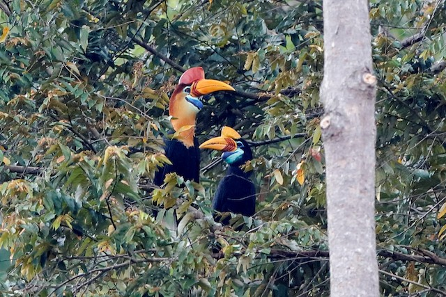 Gambar 3. Sepasang Burung Julang Sulawesi di Kanopi Pohon