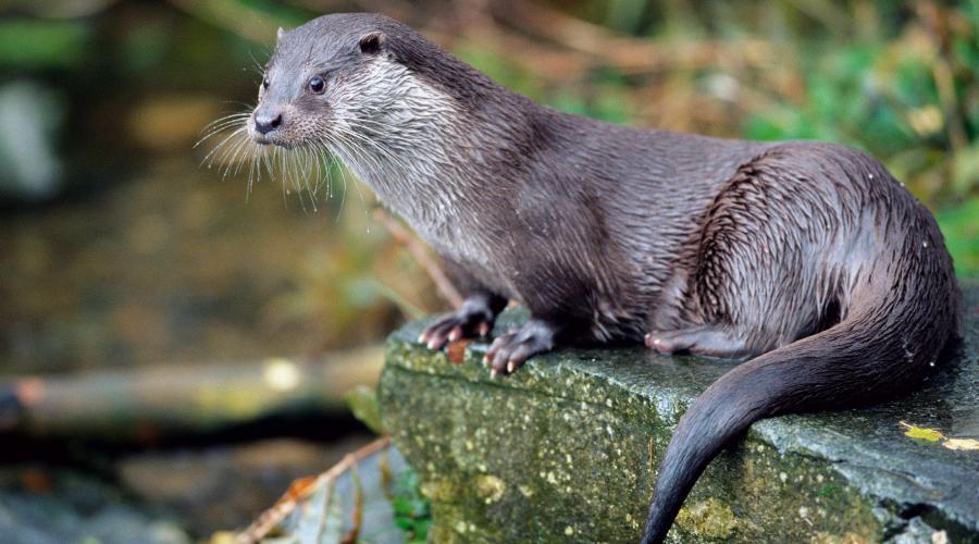 Gambar 3. Berang-berang (Otter)