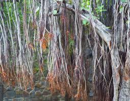 Gambar 3. Akar gantung pohon beringin