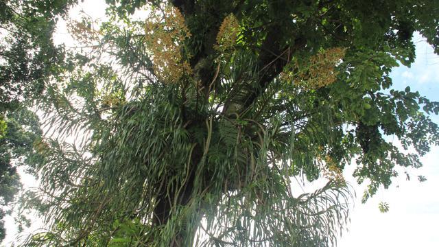 Gambar 3. Anggrek Raksasa di Kebun Raya Bogor