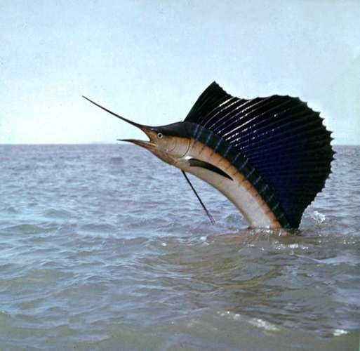 Gambar 3. Ikan layar melompat ke udara