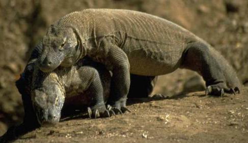 Gambar 3. Komodo Berkembang Biak