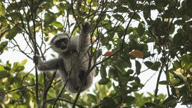 Gambar 3. Owa Jawa bergelantungan di ranting pohon
