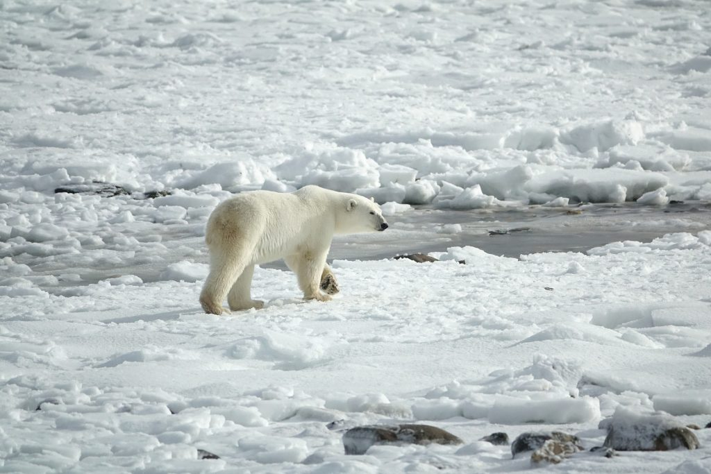 Polar Bear in the Arctic © Margo Tanenbaum