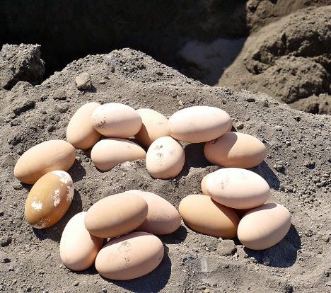 Gambar 3. Telur Burung Gosong