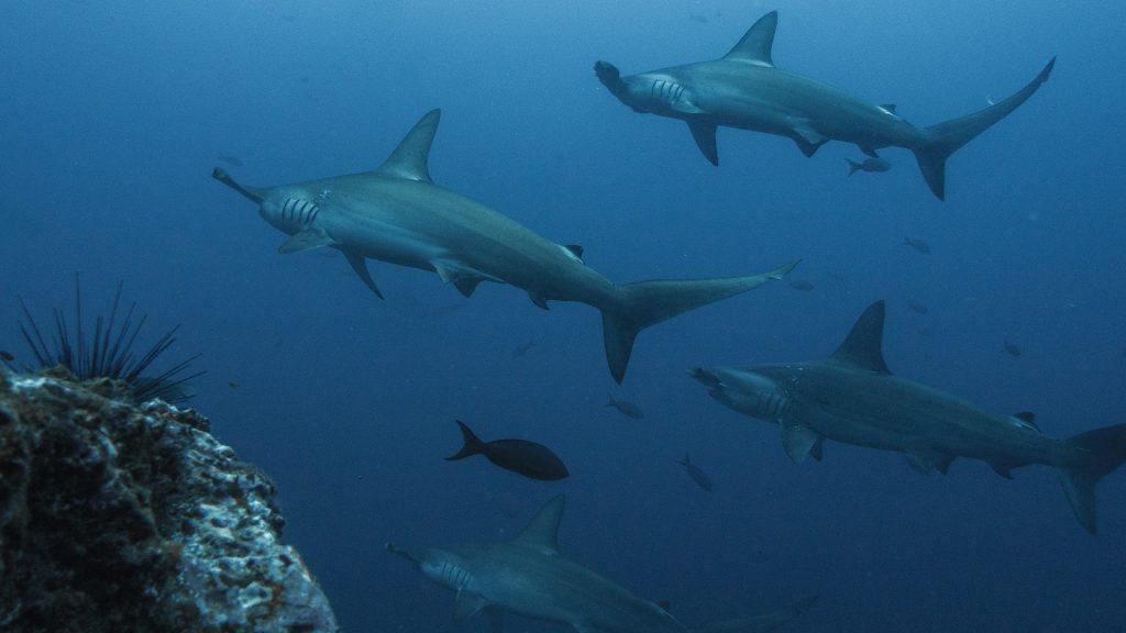 Gambar 4. Hammerhead Shark © baechi