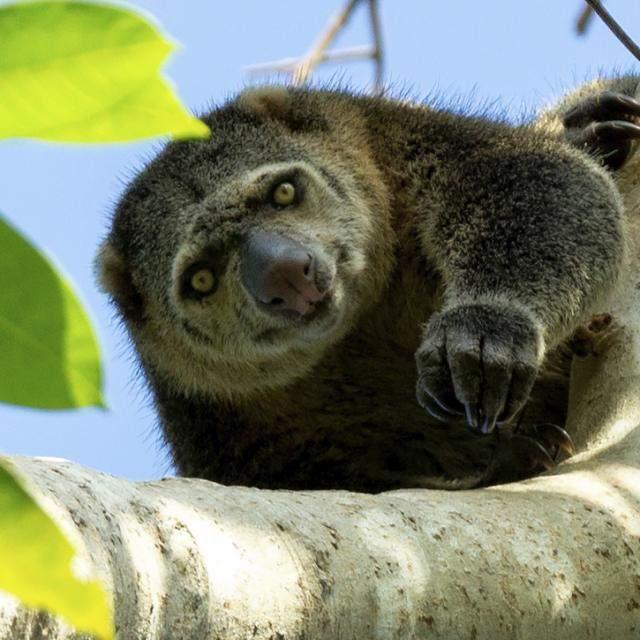 Gambar 4: Kuskus Beruang Satwa Endemik Sulawesi