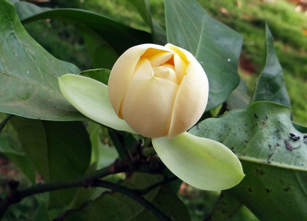 Gambar 4. Egg Magnolia Memiliki Bentuk Seperti Telur dengan Warna Krem