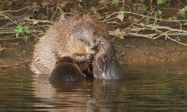 Gambar 4. Biwara (Beaver) dan Berang-berang (Otter) Tinggal dalam Satu Habitat (© Mike Symes/Devon Wildlife Trust/PA)