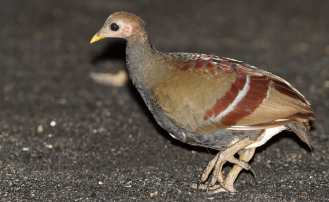 Gambar 4. Burung Gosong Maluku