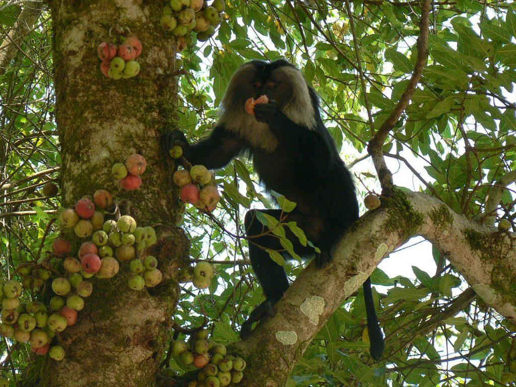 Gambar 4. Tidak Hanya Manusia, Hewan Seperti Monyet juga Memanfaatkan Buah Elo sebagai Sumber Pangan