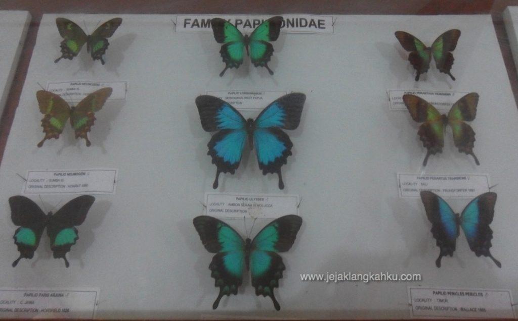 Gambar 5. Koleksi Aneka Kupu-kupu di Museum Kupu-kupu, Taman Nasional Bantimurung-Bulusaraung