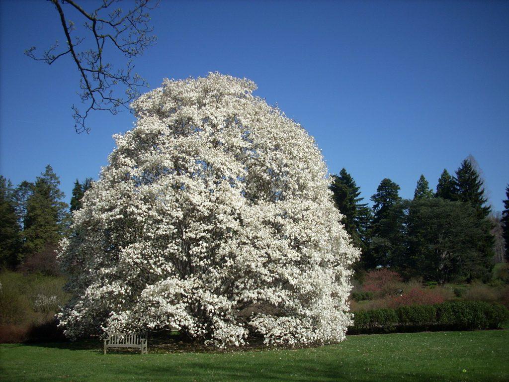 Gambar 6. Magnolia kobus Spesies Magnolia Asli Jepang dan Korea yang Bunganya Mekar pada Musim Semi
