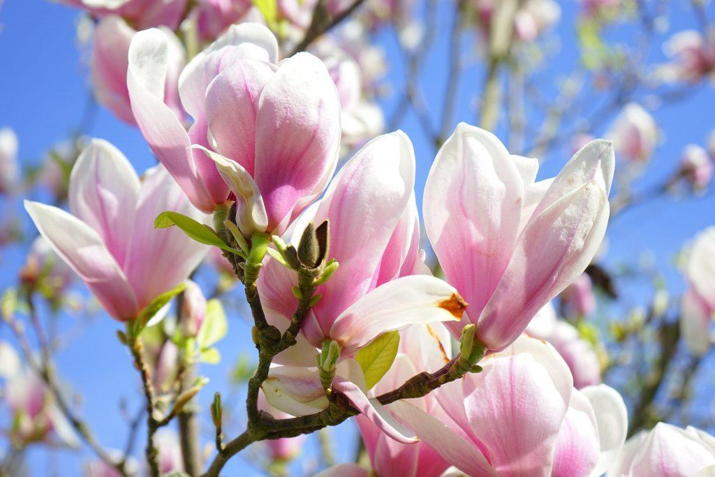 Gambar 7. Magnolia liliiflora Memiliki Bunga Seperti Tulip dengan Warna Ungu dan Merah Muda Agak Putih
