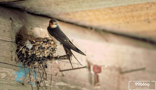 Gambar 1. Burung Walet Dalam Sarangnya