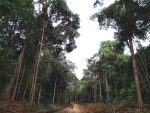 Pohon Tengkawang: Pohon Khas Kalimantan yang Terancam