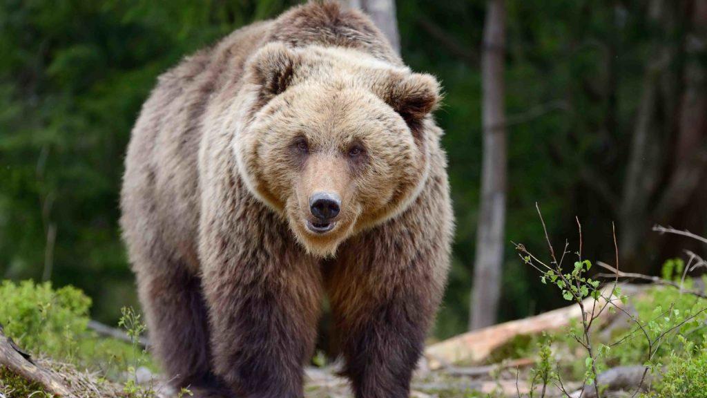 Grizzly bear Amerika Serikat – ©Cowboystatedaily.com