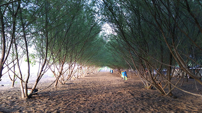 Gambar 2. Cemara di Pantai Banyuwangi