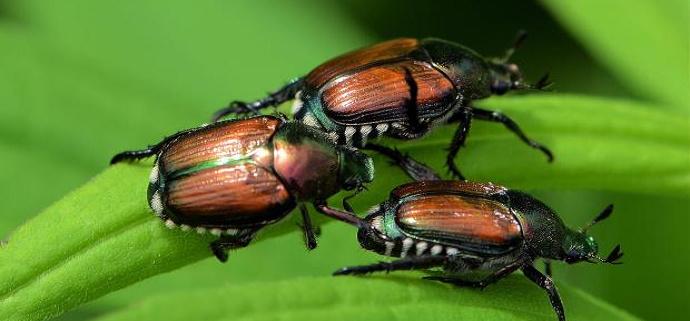 Gambar 1: Kumbang
