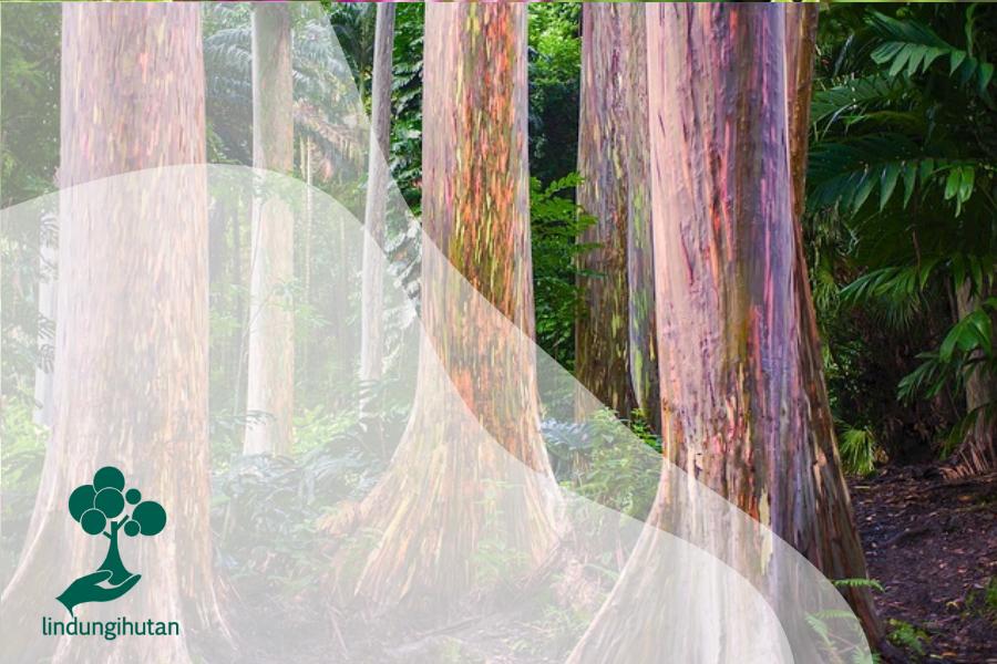 Eucalyptus deglupta : Pohon Pelangi yang Indah nan Unik