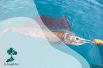 Ikan Layar, Ikan Tercepat di Dunia