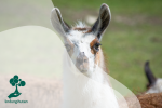 Mengenal Llama, Hewan Yang Memiliki Karakter Lembut