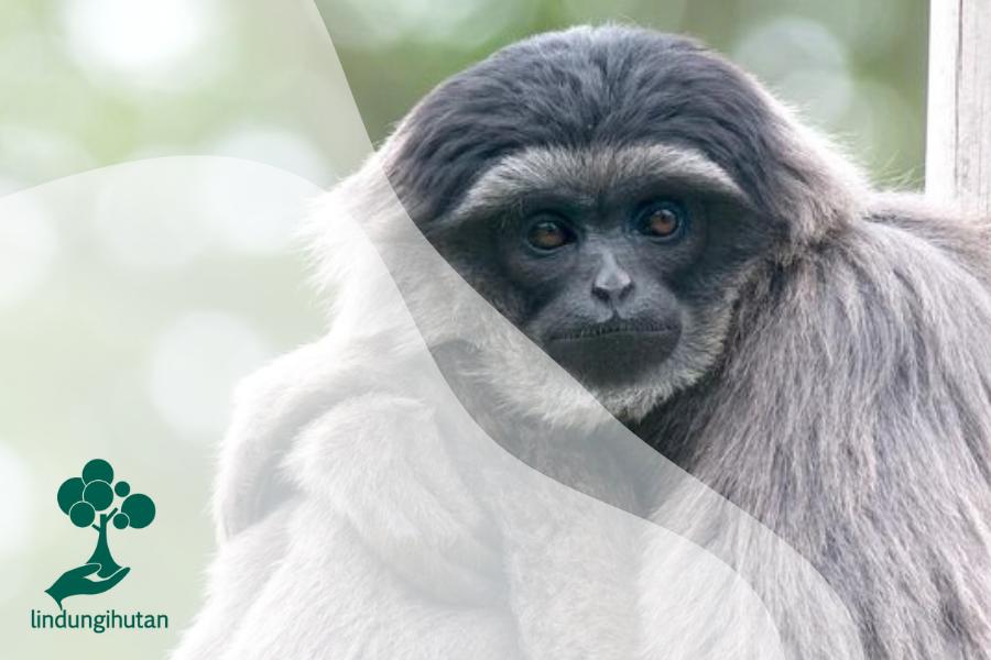 Mengenal Owa Jawa, Primata Setia Berwarna Abu-Abu