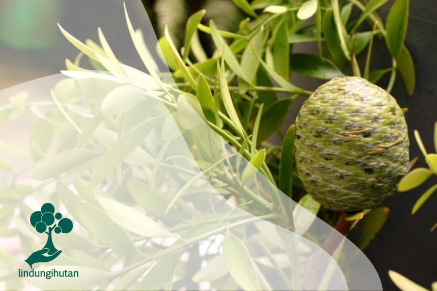 Mengenal Pohon Damar, Flora Asli Indonesia