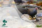 Burung Gosong, Penimbun Telur Berkaki Besar