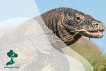 Mengenal Hewan Komodo, Spesies Kadal Unik Endemik Indonesia