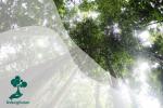 Pohon Ulin, Kayu Besi Dari Kalimantan