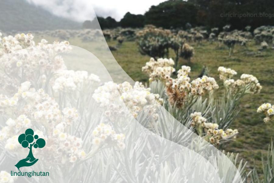 Bunga Senduro, Edelweiss dari Jawa