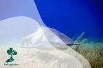 Kepunahan Hiu Sang Predator Puncak Lautan