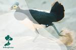 Burung Maleo, Si Cantik Khas Sulawesi