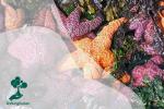 Laut yang Menghangat Menyebabkan Kematian Bintang Laut