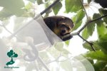 Mengenal Kuskus Beruang, Satwa Endemik Khas Indonesia