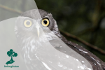 Ninox Connivens: Burung Hantu yang Menggonggong