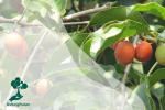 Pohon Tanjung: Peneduh yang Kaya Filosofi